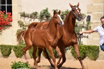 Pompadour offre un nouveau titre de champion de France à l'élevage des Loges